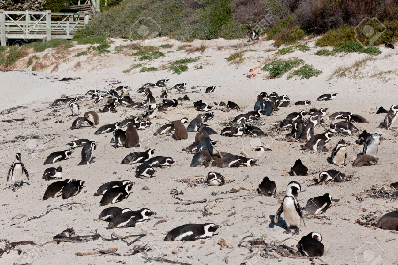 African penguins (spheniscus demersus) at the Boulders colony in Cape Town, South Africa. Stock Photo - 10162361