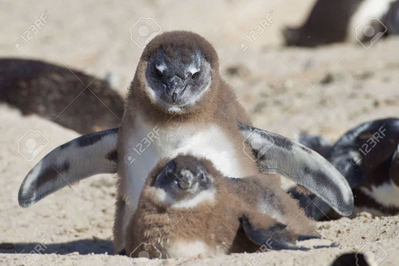 African penguins (spheniscus demersus) at the Boulders colony in Cape Town, South Africa. Stock Photo - 10162119