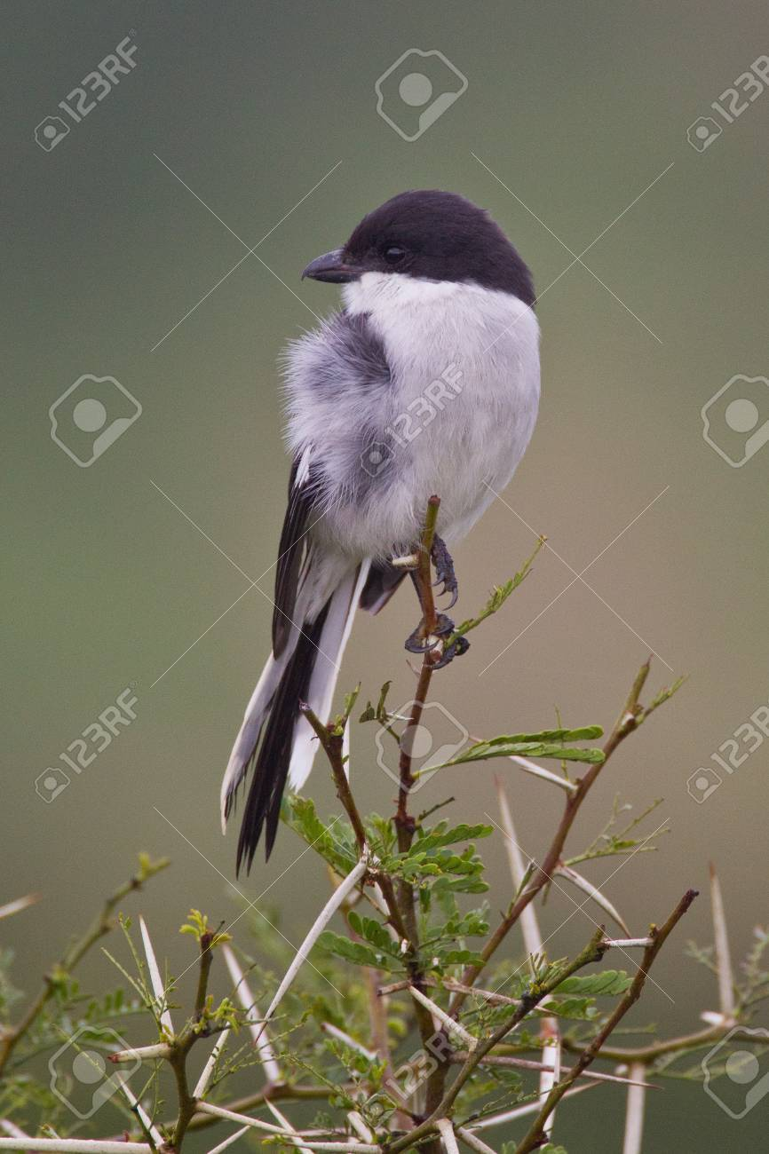 Fiscal shrike (lanius collaris) at Addo Elephant Park in South Africa. Stock Photo - 10162471