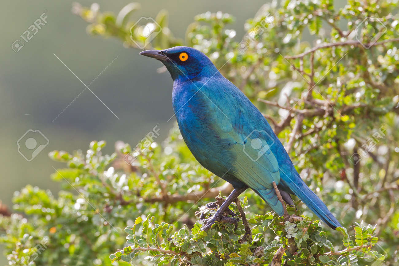 Cape glossy starling (lamprotornis nitens) at Addo Elephant Park in South Africa. Stock Photo - 10162466