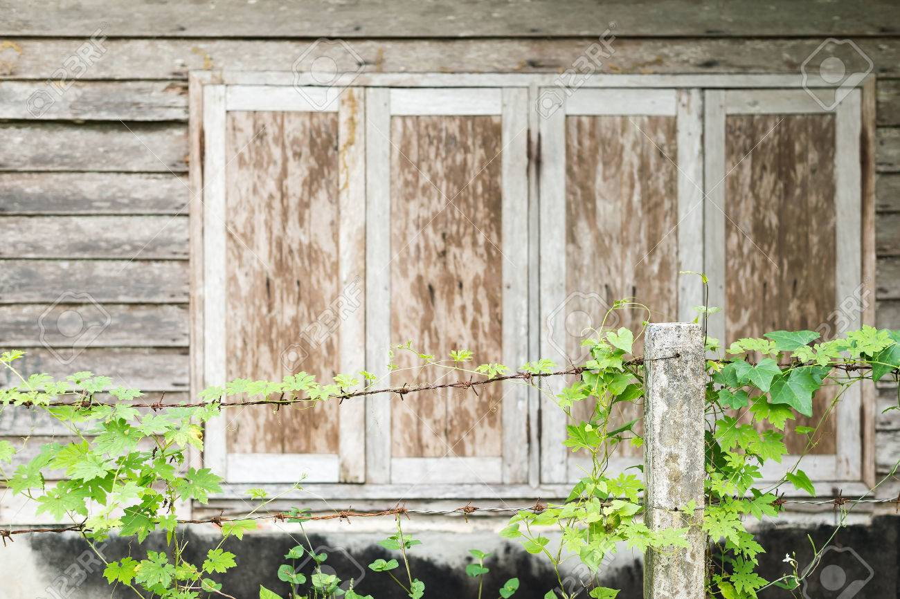 Ivy Vines Climbing On Barbed Wire In Front Of Wooden Windows.. Stock ...
