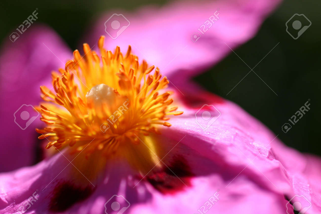 Cistus Purpureus Or Orchid Rockrose In Pink From A Bush Shrub