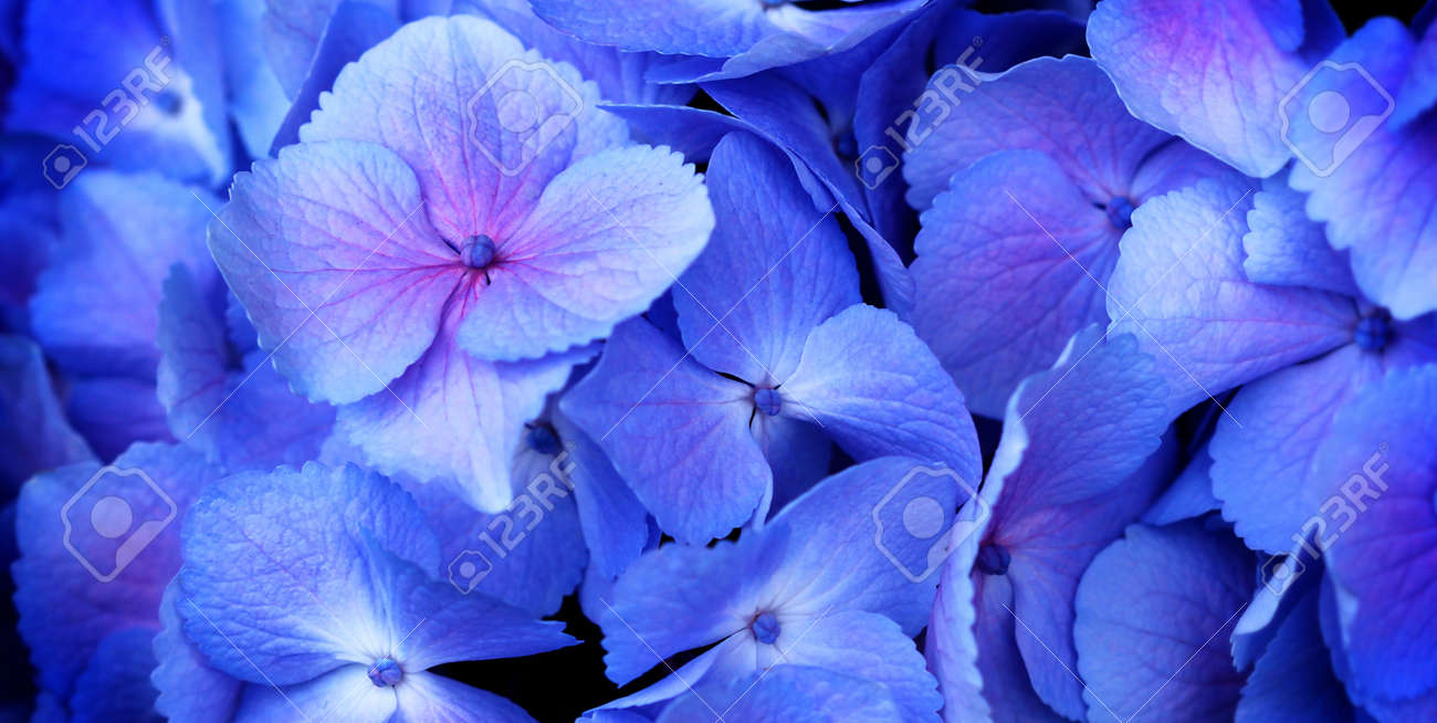 close up of a group blue and pink hydrangea Stock Photo - 7621722