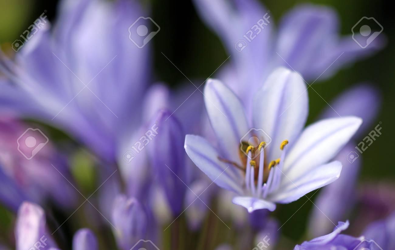 Agapanthus Foglie Gialle ottimo viola agapanthus africanus close up o macro girato