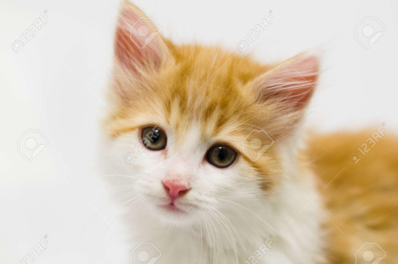 Orange And White Fluffy Kitten White Looking At Camera Stock