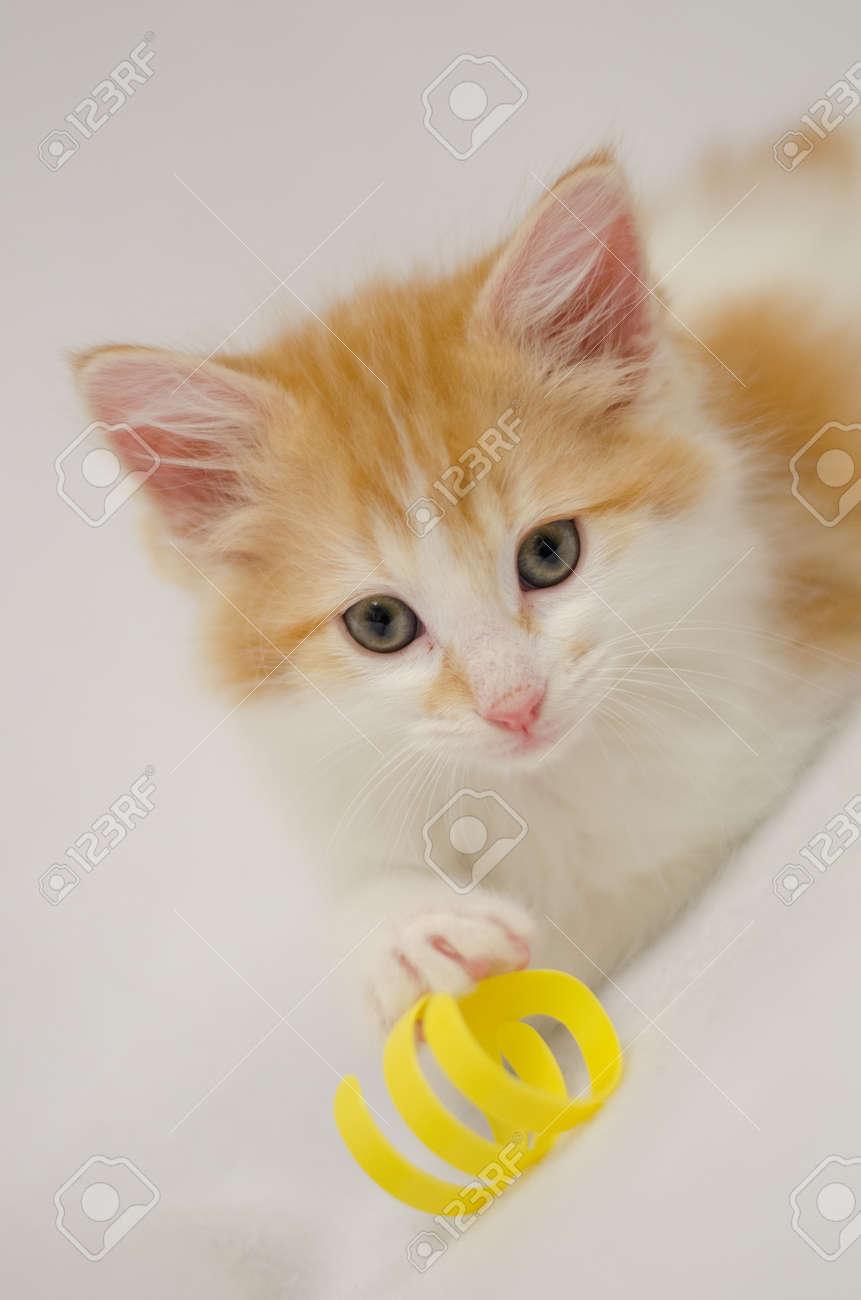 Orange And White Fluffy Kitten White With Toy Stock