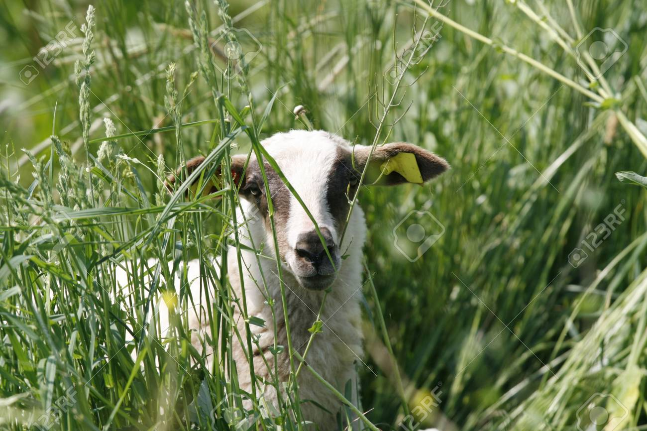 young lamb looking curious through grass Stock Photo - 3050876