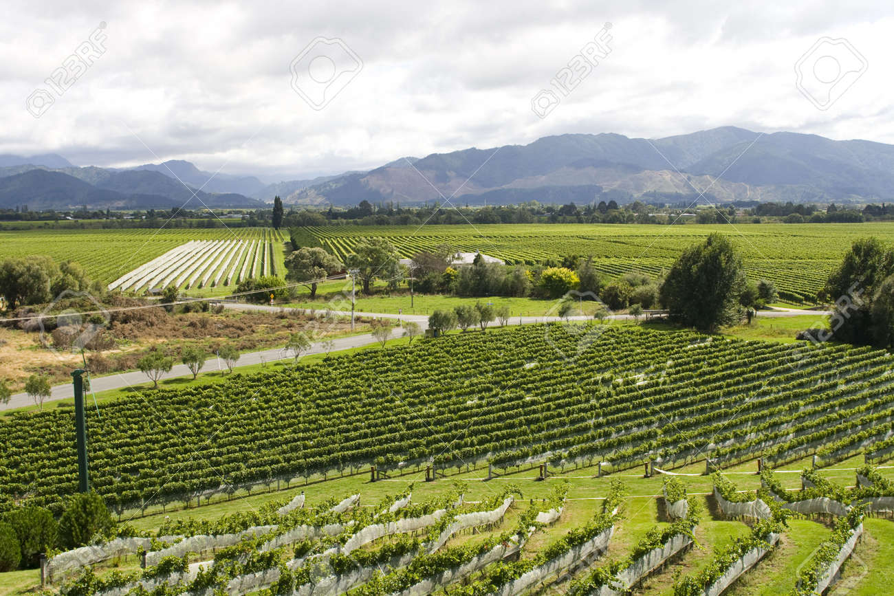 vineyard in New Zealand with rows of sauvignon and pinot noir Stock Photo - 5000351