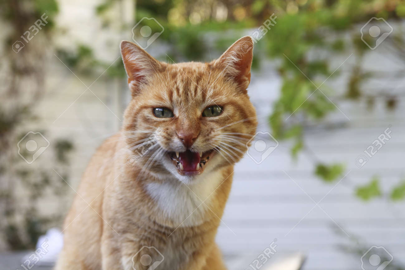 Red angry cat looking at camera Stock Photo - 10952208