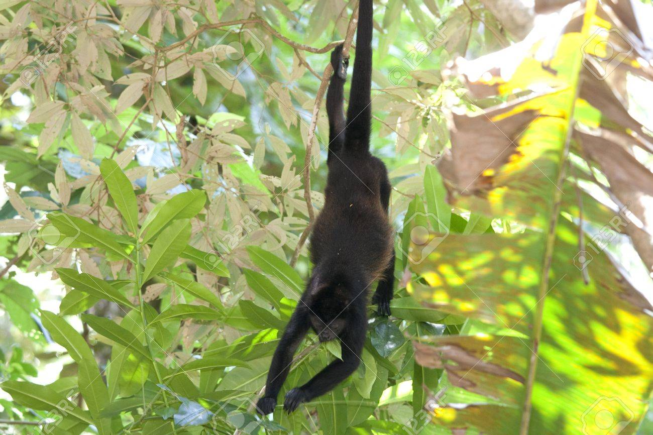 howler monkey hanging in tree in rainforest of costa rica stock