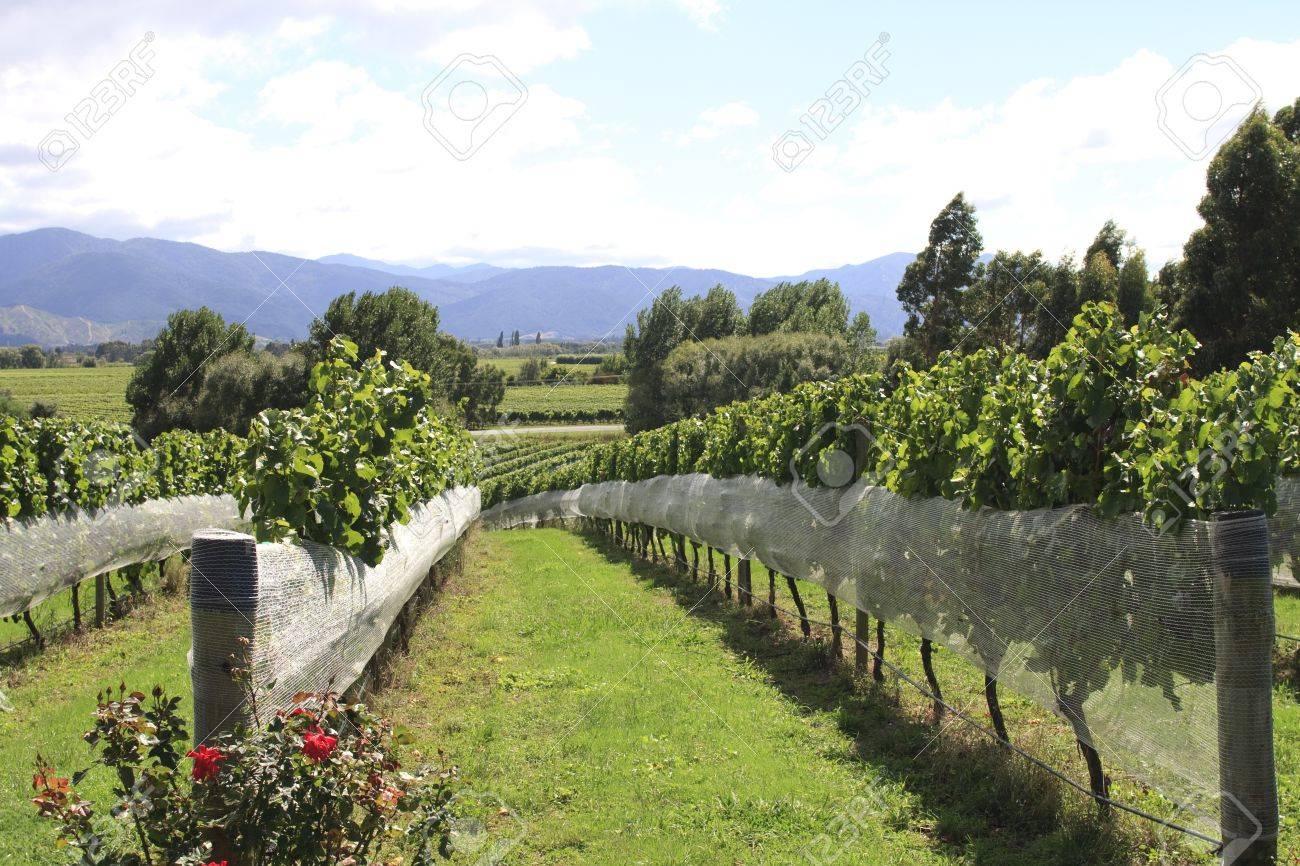 Rows of vines at green vineyard at Hawkes Bay in New zealand Stock Photo - 14548126
