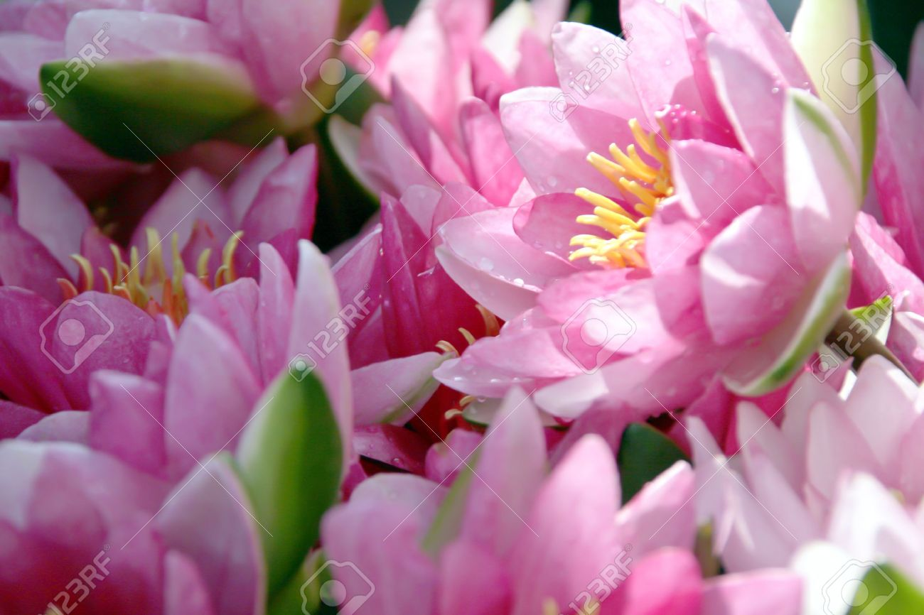 Pink Lotus Flowers In A Vase Stock Photo Picture And Royalty Free