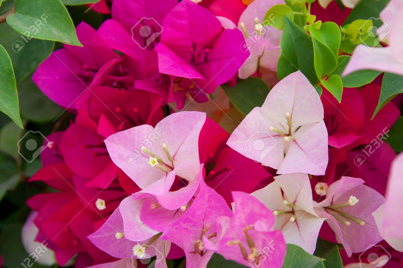 Colorful bougainvillea paper flowers stock photo picture and colorful bougainvillea paper flowers stock photo 12528802 mightylinksfo