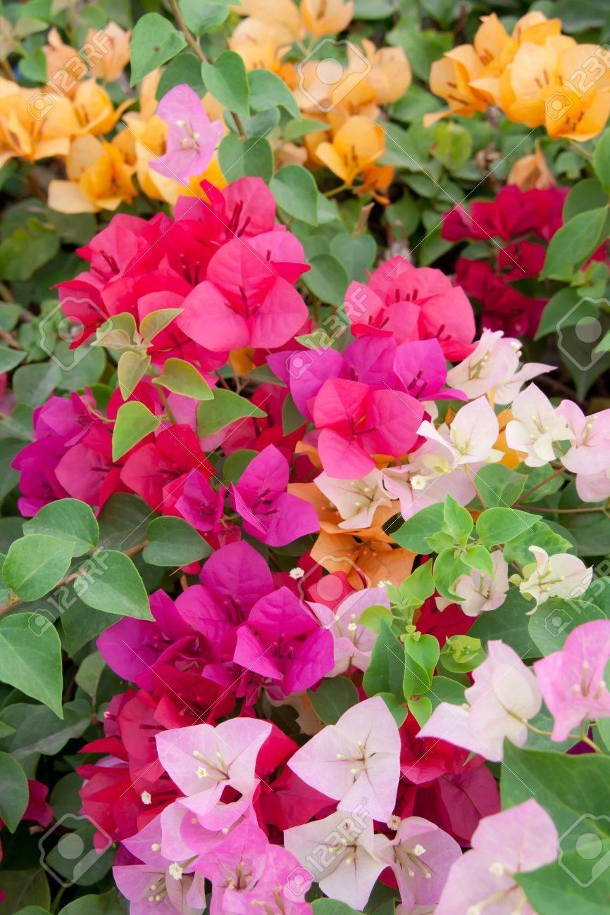 Bougainville Fleur en ce qui concerne general information common name paper flower, lesser bougainvillea