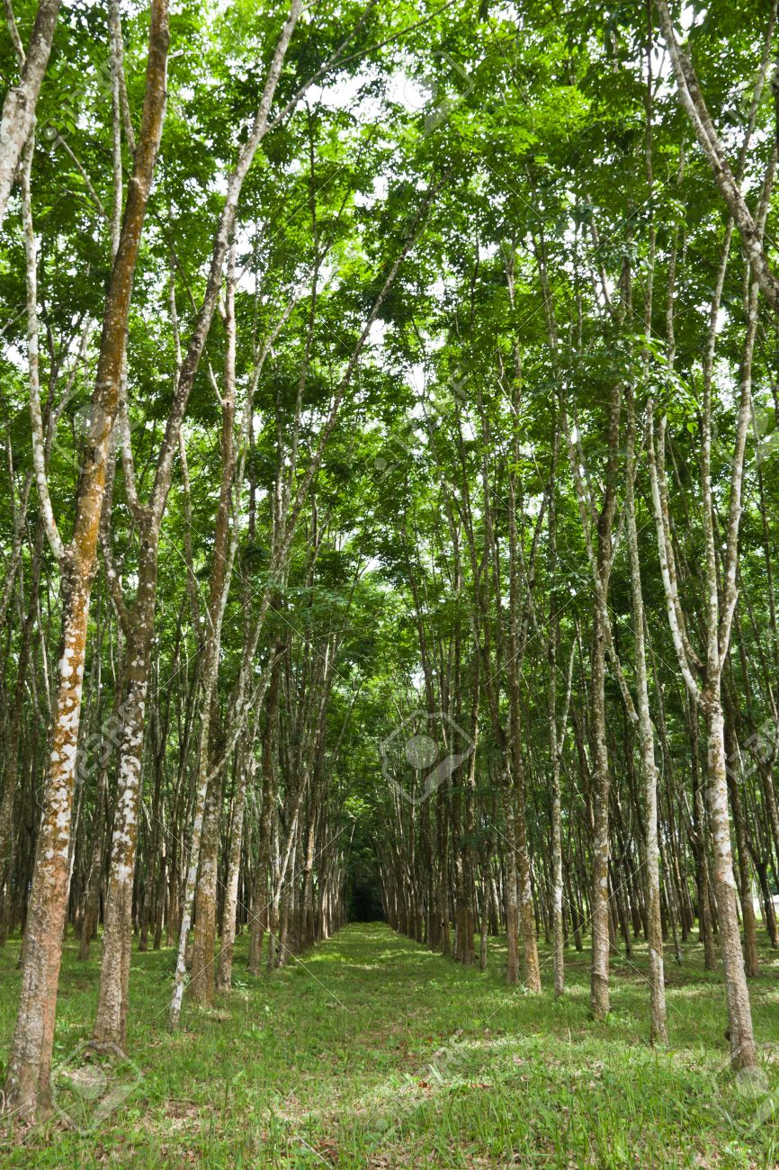rubber tree plantation is one of the main agricultural business of the thai rubber farmers of southern thailand Stock Photo - 13529538