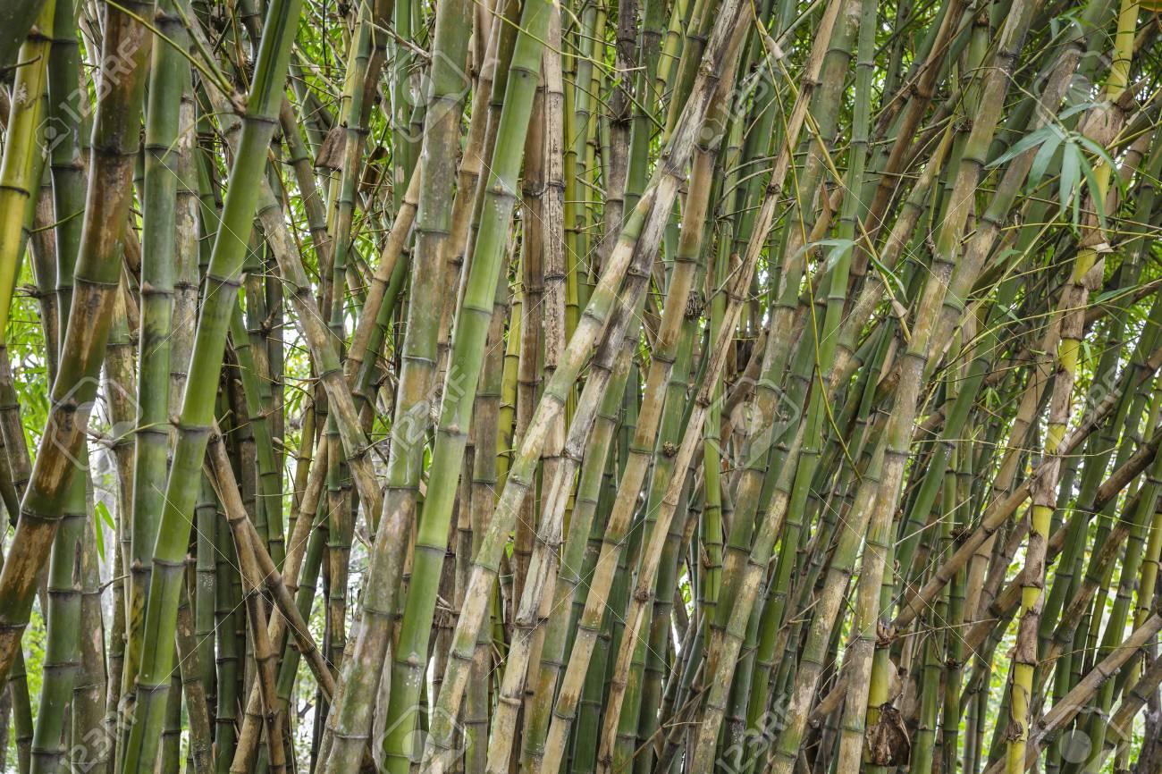 Steli Di Bamb.Steli Di Bambu Sfondo
