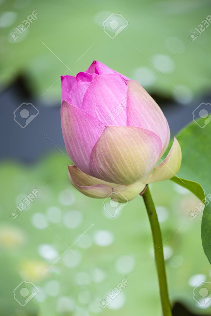 Lotus flower bud with blur water drop on leaves as background stock lotus flower bud with blur water drop on leaves as background stock photo 76976609 izmirmasajfo