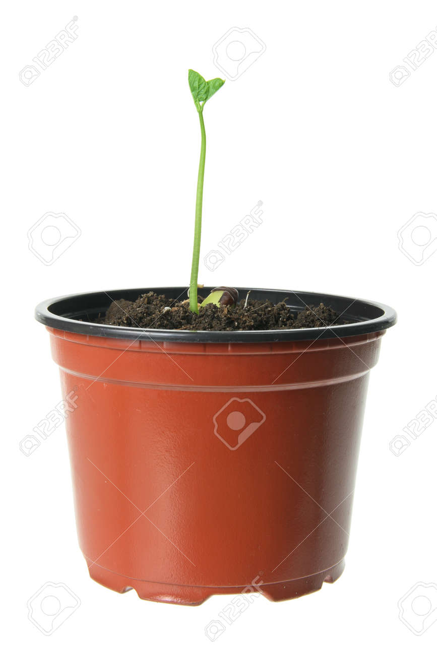 Young Plant in Pot on White Background Stock Photo - 12246492