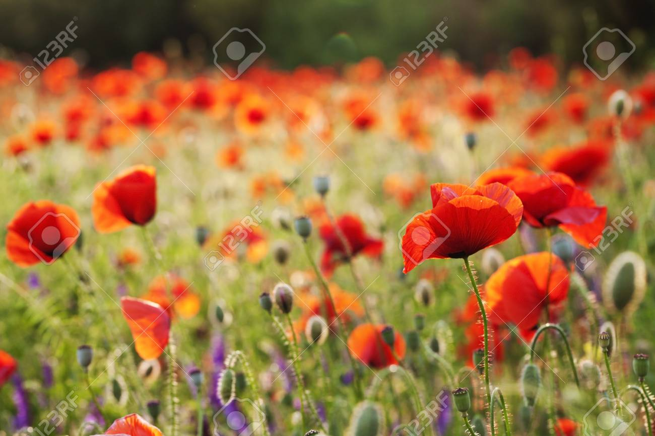 beautiful blooming poppies blurred background wallpaper