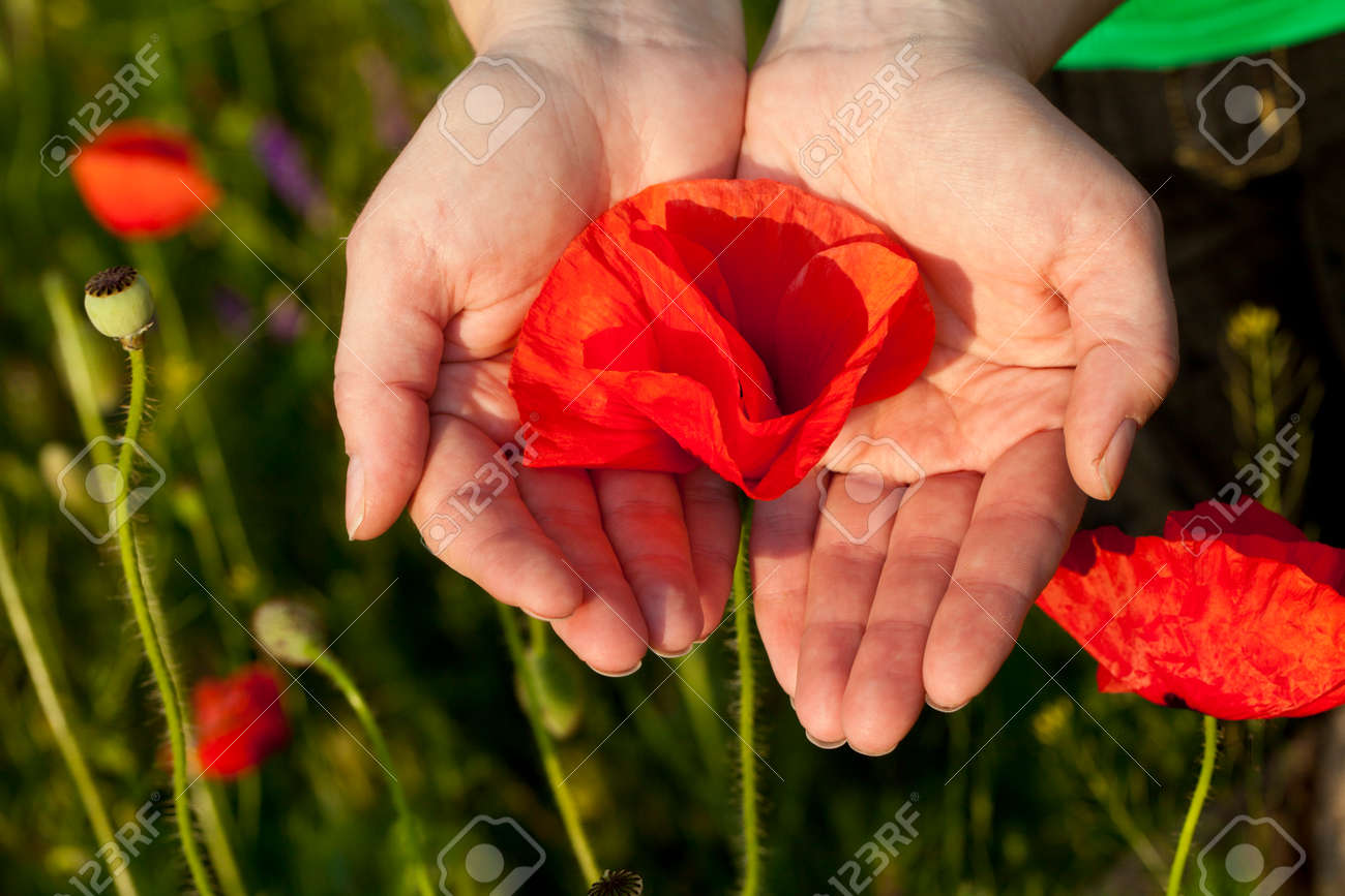 Poppy Flower Background Hand Care Stock Photo Picture And Royalty