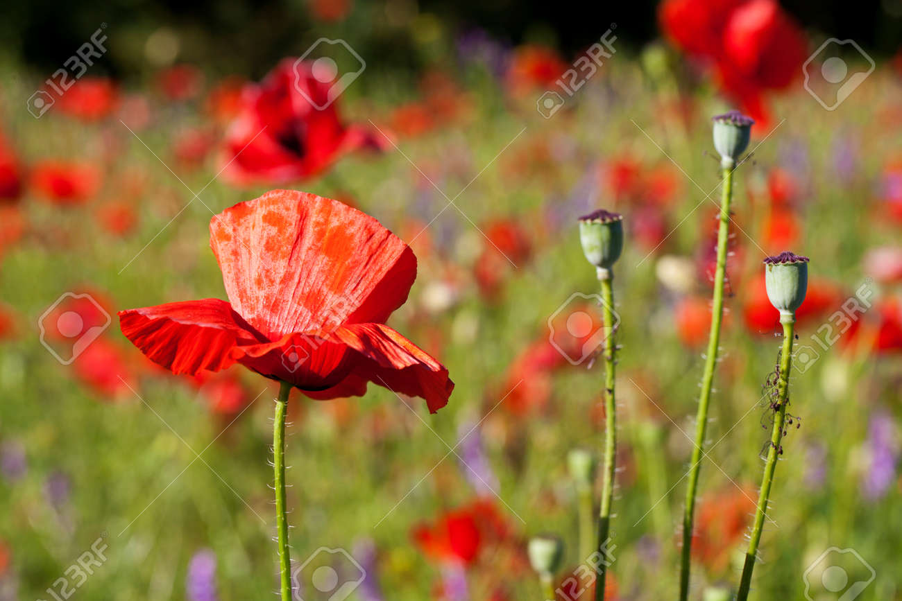 Beaux Coquelicots Fleurissent Floue Fond D Ecran Banque D Images Et Photos Libres De Droits Image 42268170