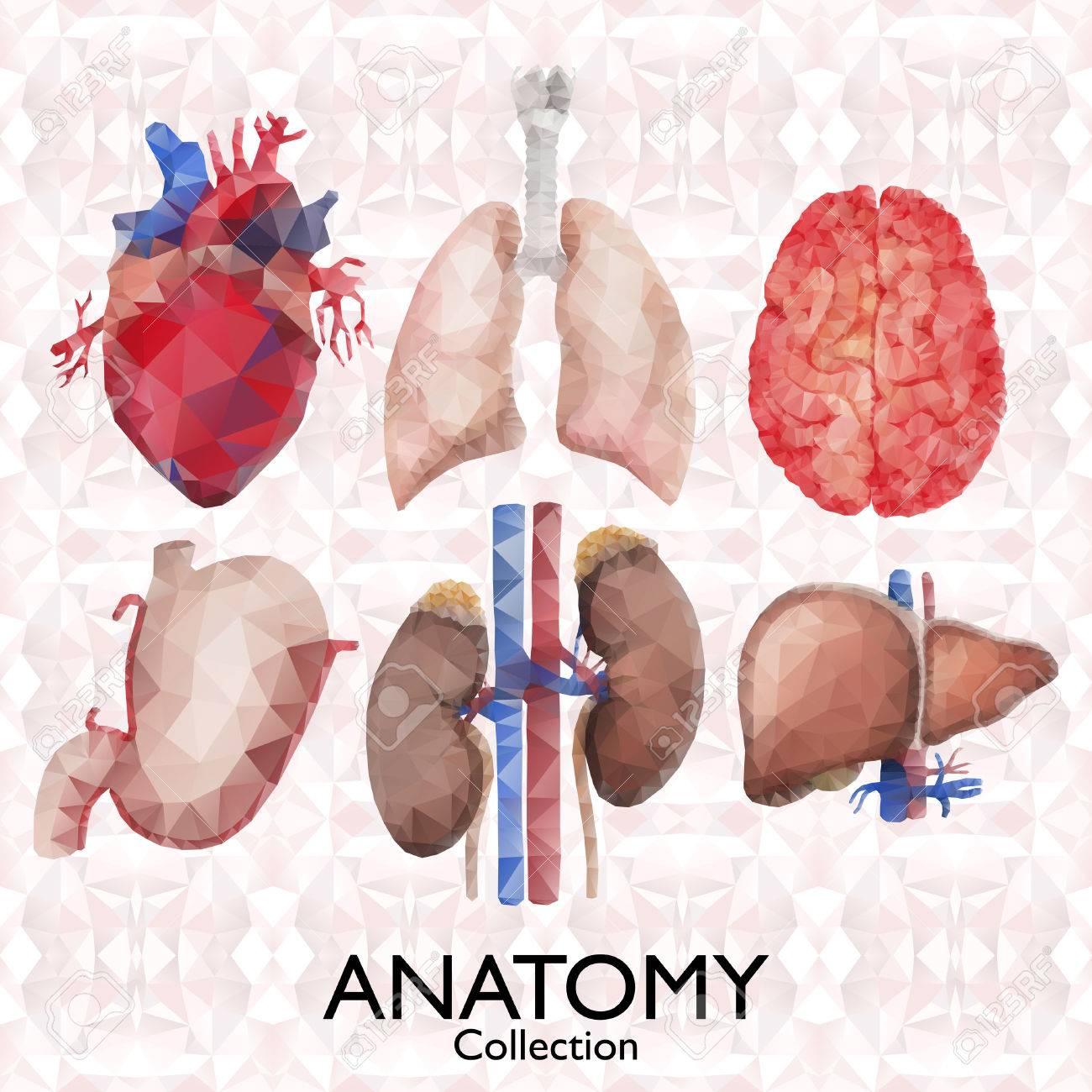 Acuarela Colección De Anatomía - órganos Poligonales. Corazón ...