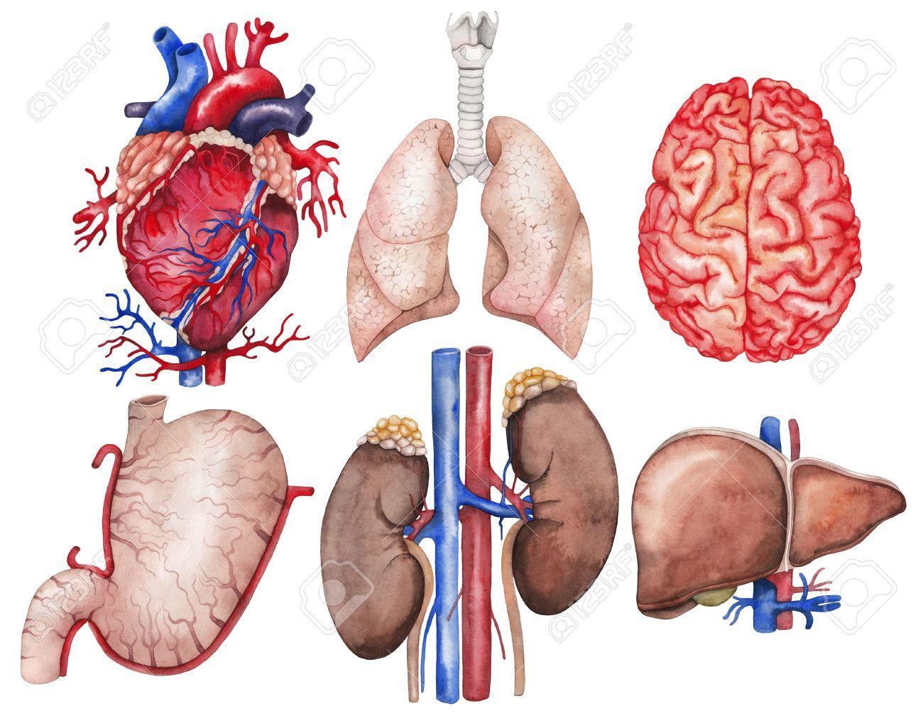 Aquarell Anatomie Sammlung. Herz, Lunge, Gehirn, Magen, Niere, Leber ...