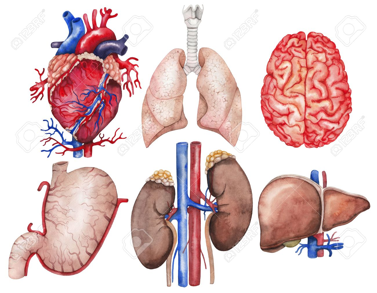 Watercolor Anatomy Collection. Heart, Lungs, Brain, Stomach,.. Stock ...