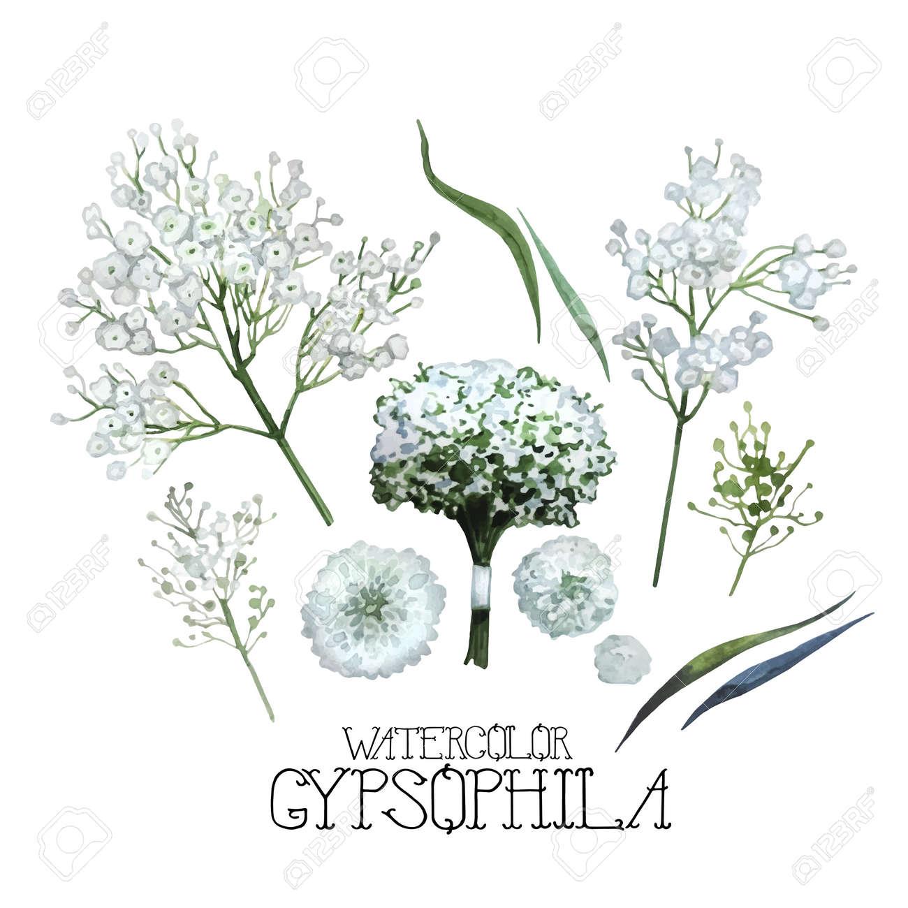 水彩シュッコンカスミソウのセット白い背景に分離された花のベクトルの