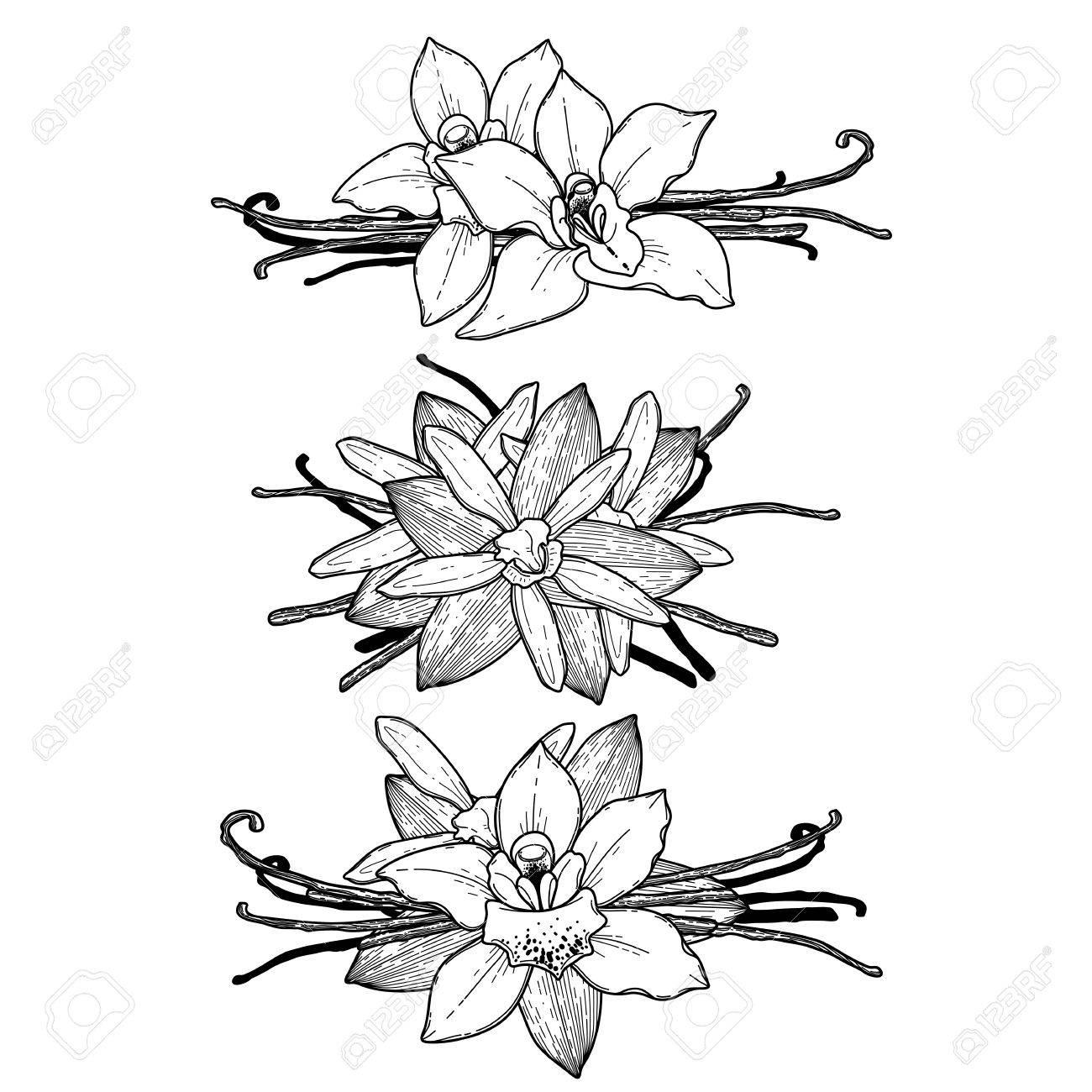Graphic Collection De Fleurs De Vanille Isolé Sur Fond Blanc Vector Floral Vignettes Page De Livre De Coloriage Design Pour Les Adultes Et Les