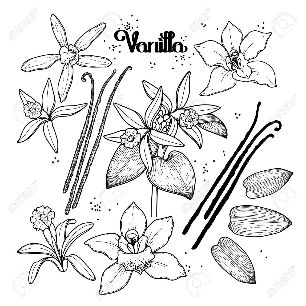 Graphic Collection De Fleurs De Vanille Isolé Sur Fond Blanc Vector Design Floral éléments Page De Livre De Coloriage Design Pour Les Adultes Et Les