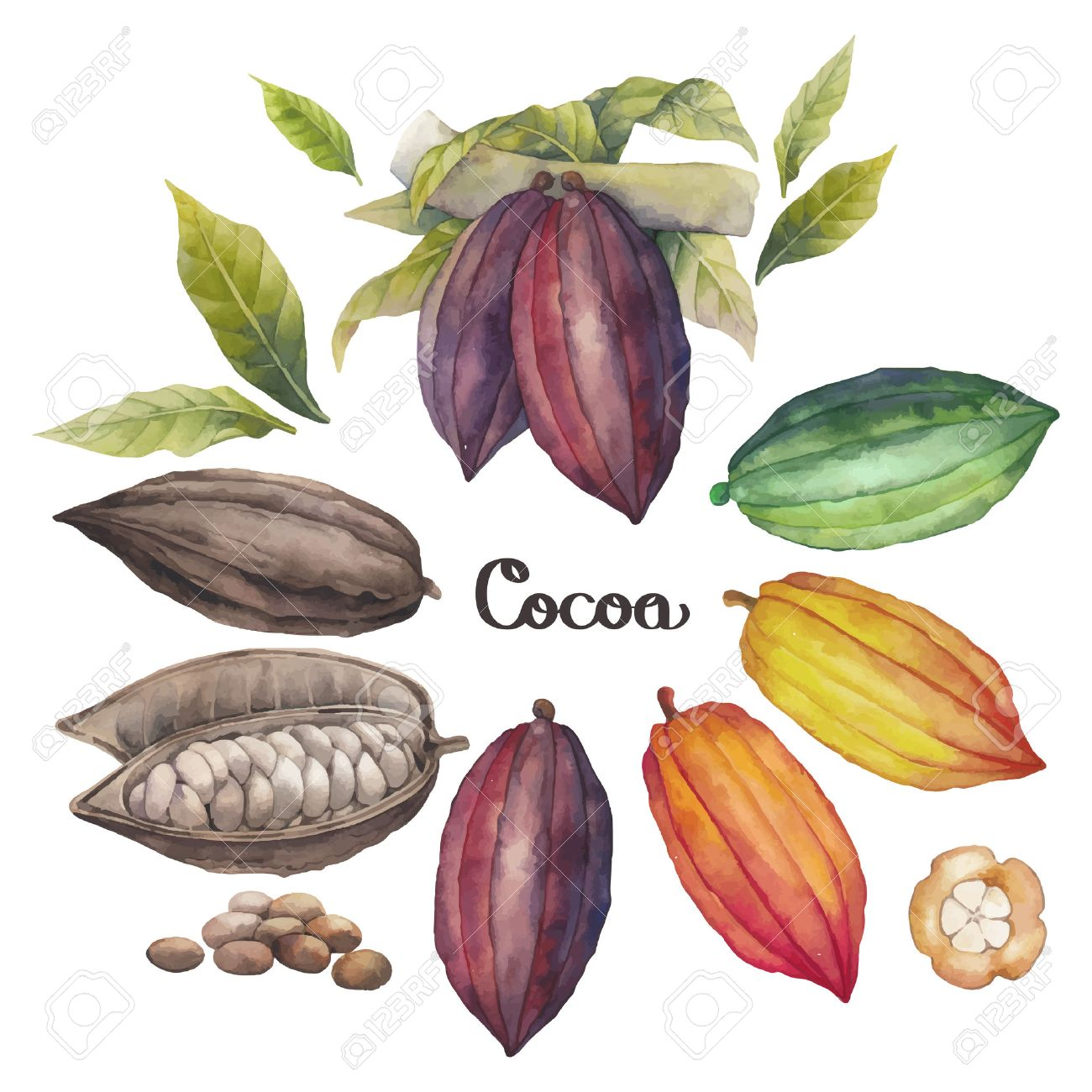 watercolor cocoa fruit colection isolated on white background hand drawn exotic cacao plants stock vector