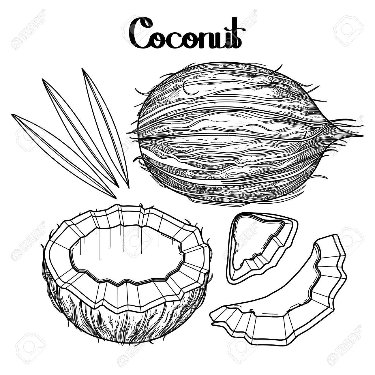 Colección De Coco Gráfico. Dibujados A Mano Las Hojas Y Los Frutos ...