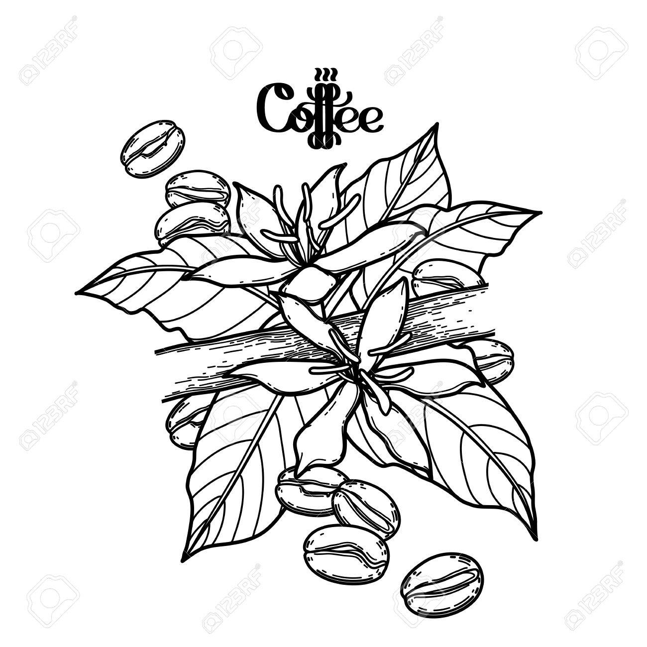Graphic coffee beans and flowers. Vector vignette. Floral decoration...