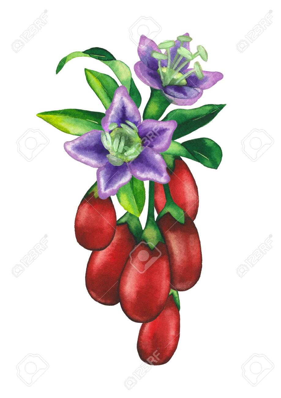 Watercolor Bunch Of Goji Berries With Leaves And Flowers Stock