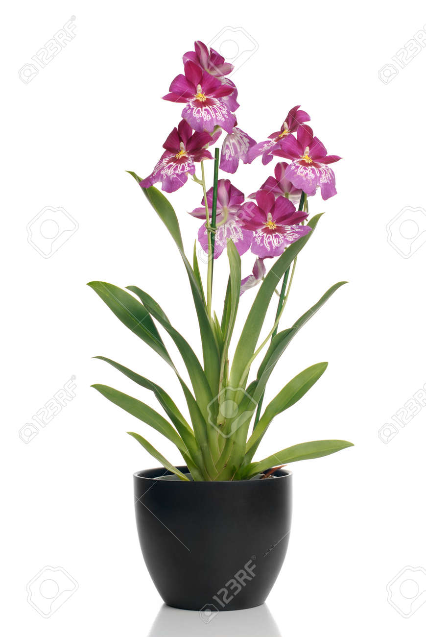 orchidee ombre