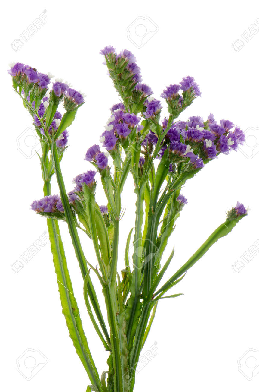 Purple statice flowers isolated on the white stock photo picture purple statice flowers isolated on the white stock photo 14692853 mightylinksfo