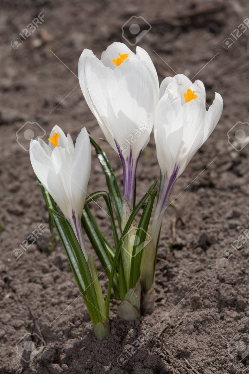 Three White Crocus Flowers In Soil Stock Photo Picture And Royalty