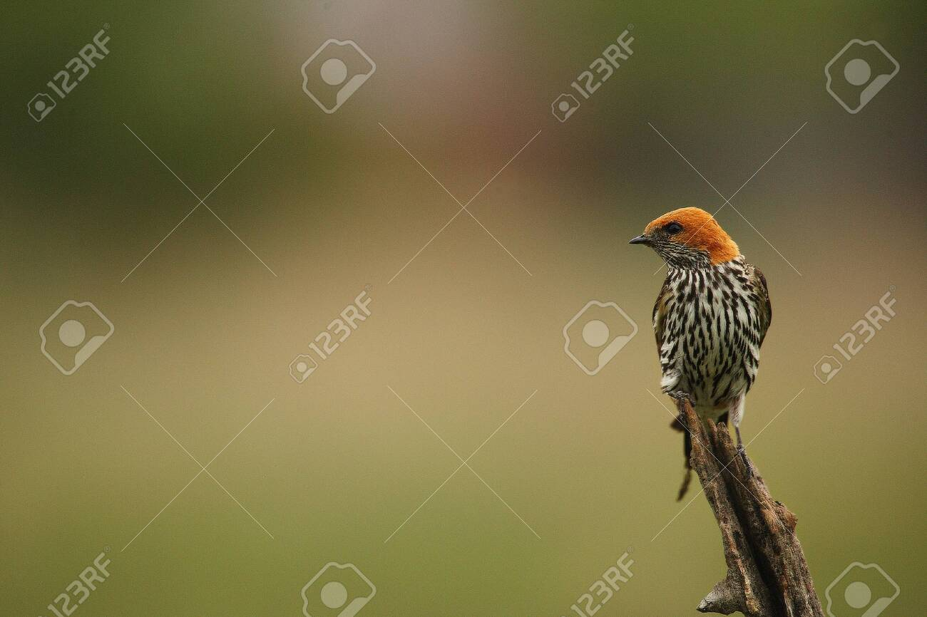 The Lesser Striped Swallow (Cecropis abyssinica) sitting on the branch. Green background. - 134212605