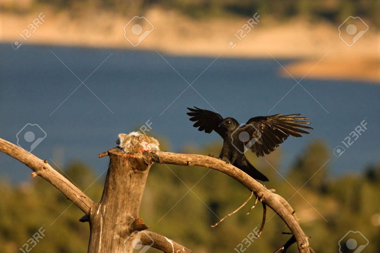 The Common raven (Corvus corax) landing to the branch with a death rabbit. The raven is trying to steal the prey of the Griffon vulture. Blue background. - 136912431