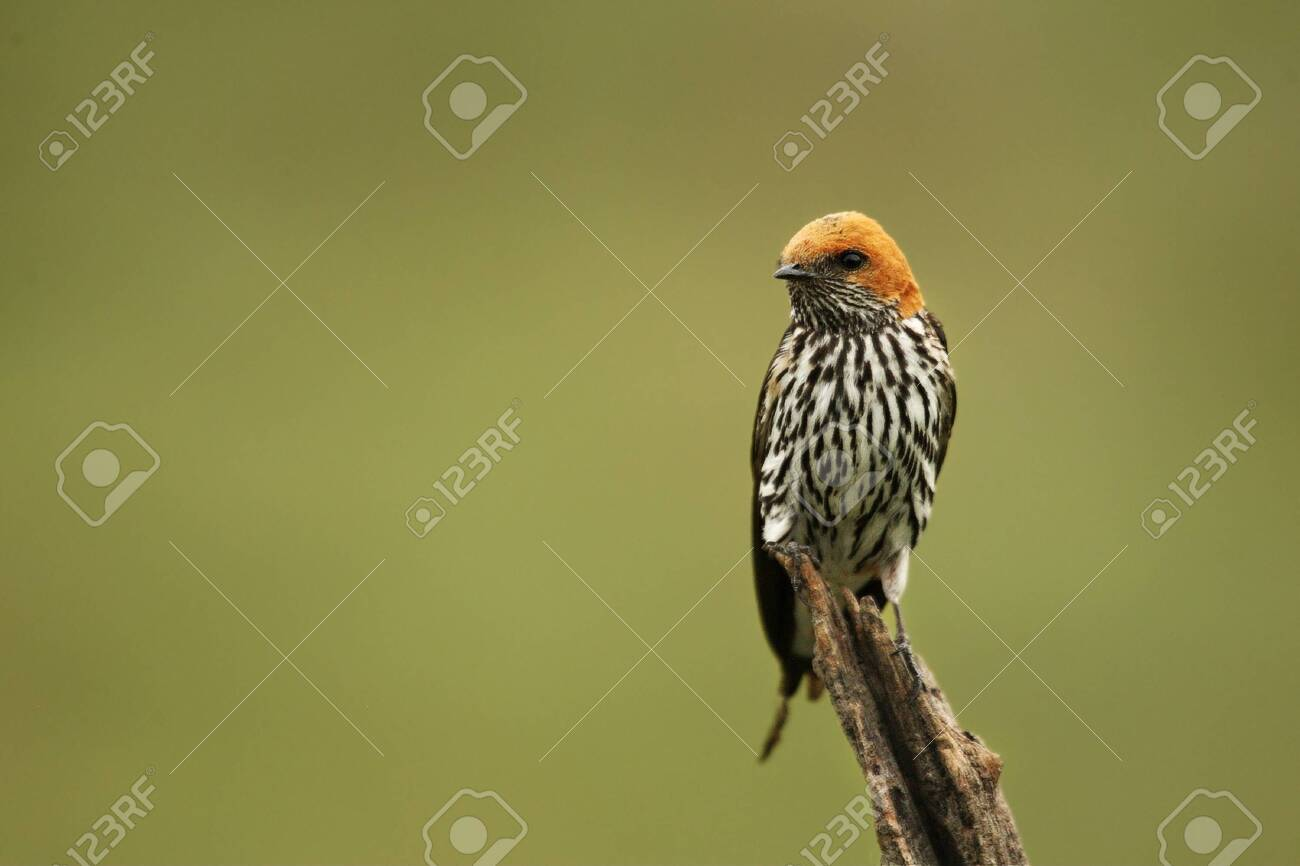 The lesser striped swallow (Cecropis abyssinica) sitting on the branch. Green background. - 136912445