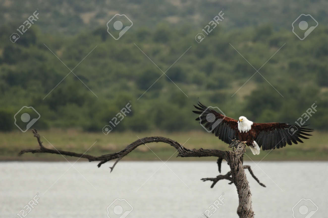 The African fish eagle (Haliaeetus vocifer) with one catfish in the talons after hunt. Sitting on the top of the branch in the lake. Green background. - 136912448