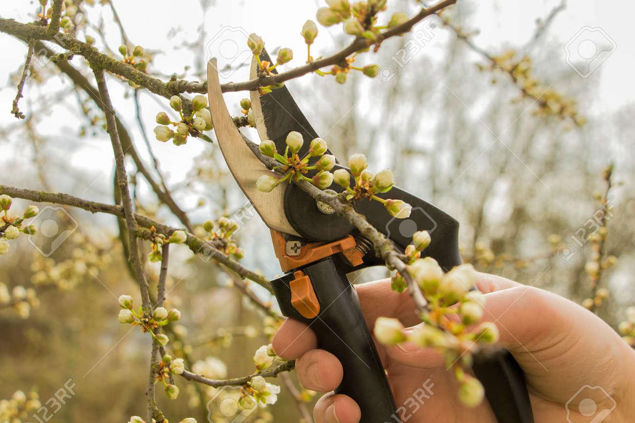 Spring gardening, work at the garden, pruning fruit trees. - 39321496