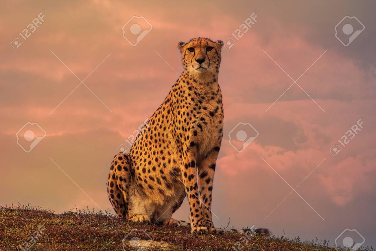 Cheetah sitting - 128376157