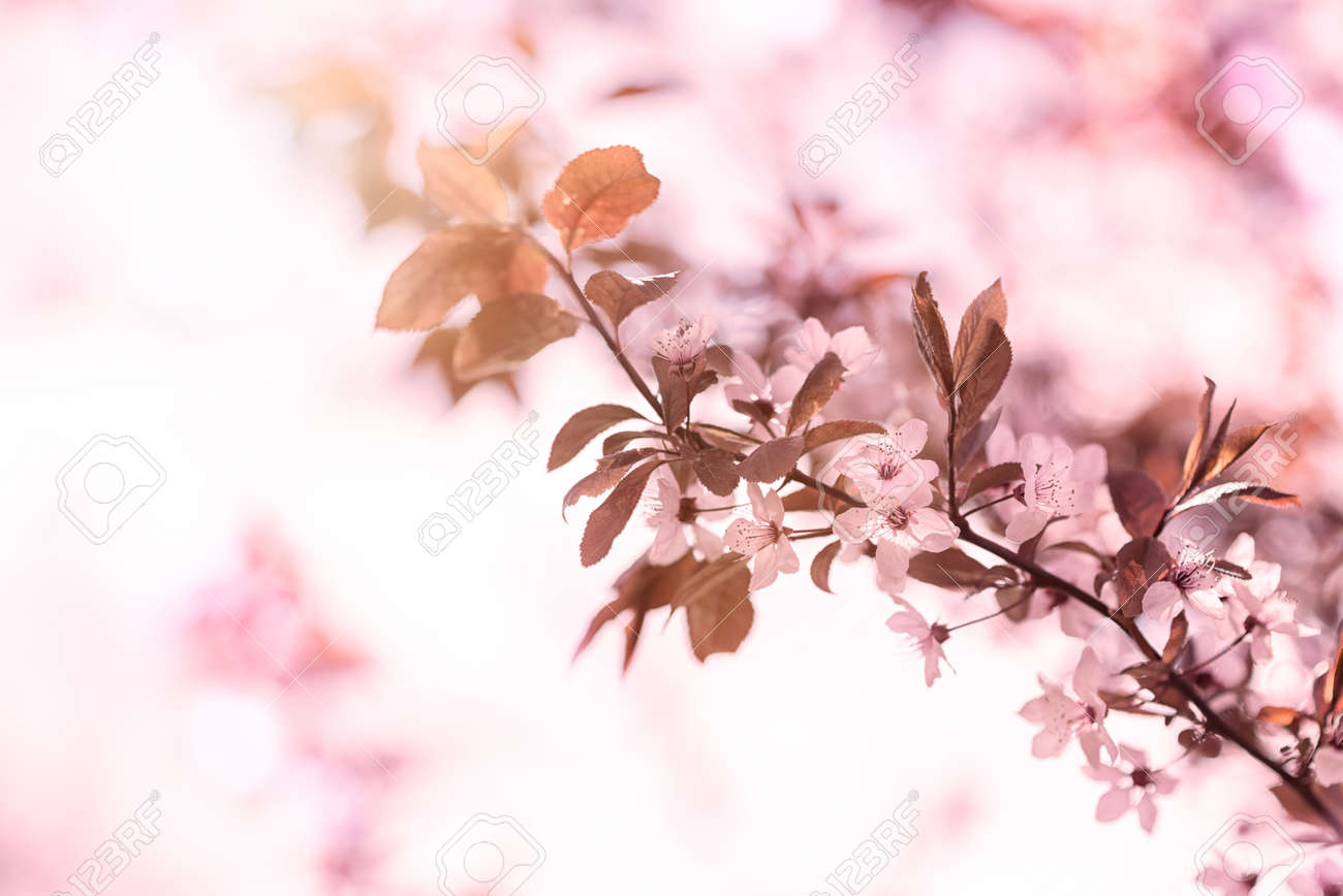 Close Up Of A Branch Covered In Pretty Dainty Pink Cherry Blossom