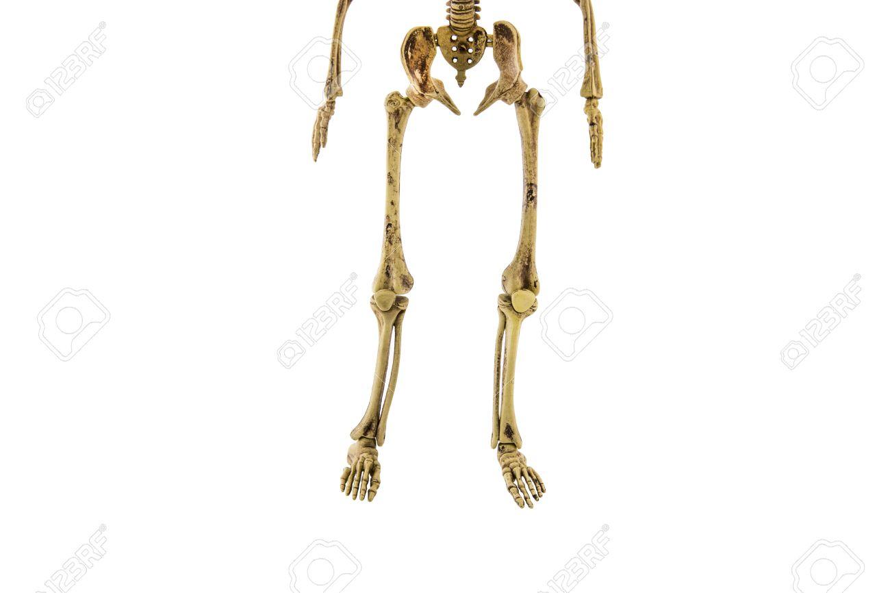 Anatomie Zurück Unteren Körper Menschliches Skelett Isoliert Add ...