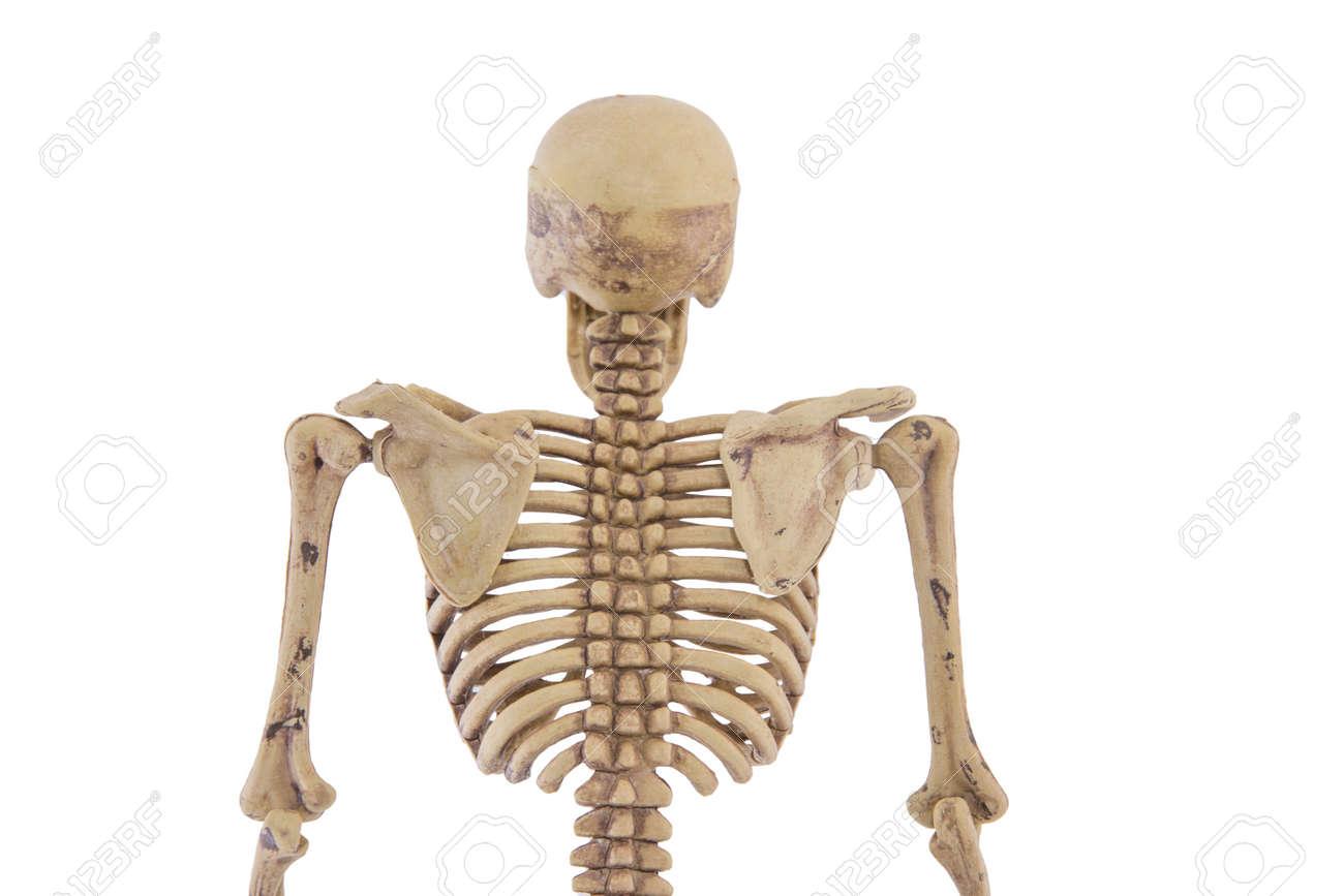 Oberkörper Menschliche Skelett Isoliert Add Beschneidungspfad ...