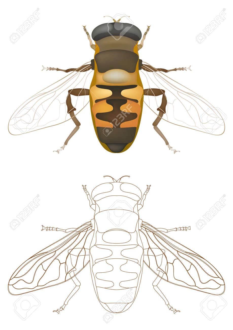 honey bee Stock Vector - 7559786