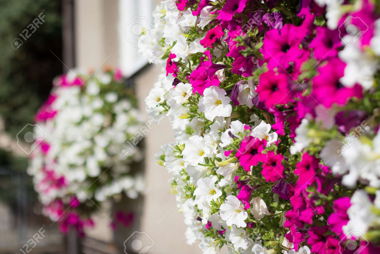 Wall Mounted Hanging Baskets With Trailing Vibrant White And Stock