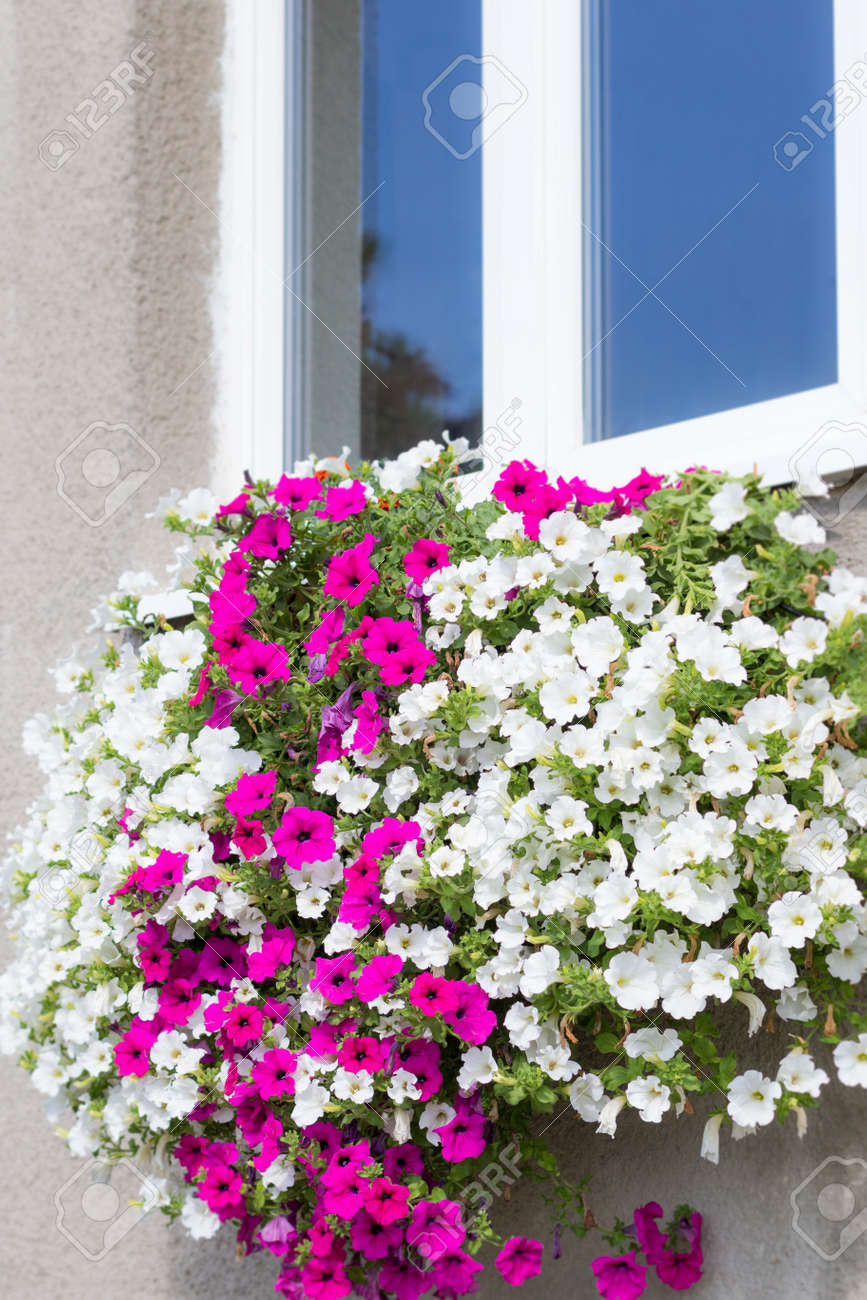 Wall Mounted Hanging Basket Under A Window With Trailing Vibrant